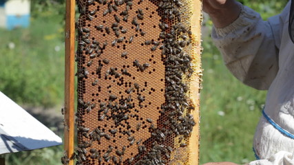 Bee-keeper holds in hand a frame with honey honeycombs and bees