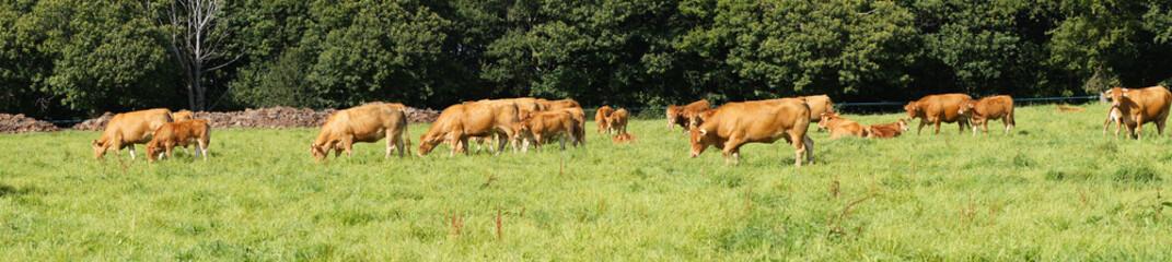 Troupeau de vaches et veaux de la race Limousine