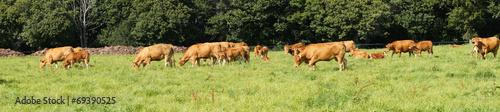 Papiers peints Vache Troupeau de vaches et veaux de la race Limousine