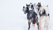 canvas print picture - Hundeschlitten