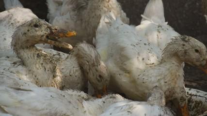 Set of ducklings eating