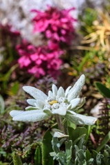 Edelweiss blossom close-up on a mountain pasture