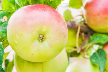 Apple on the branch with raindrops closeup