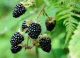 berries of blackberry on the bush - 69395935
