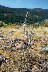 Flor de gamón, asphodelus albus, Raso de Candeleda, Ávila