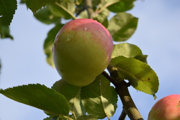 A ripe apple on a tree.