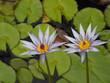 Flores en Ginebra