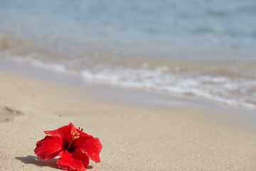 Red hibiscus on the beach