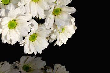 White daisy chrysanthemums on black