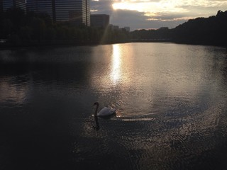swan in the cities 2.