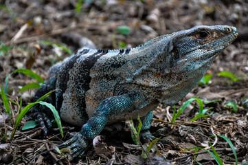 Iguana in Santa Rosa National Park, Costa Rica