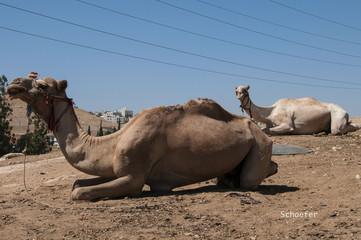 Bedouin Camels in Amman, Jordan