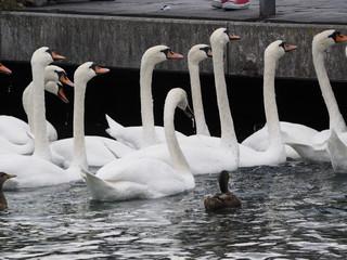 Cisnes en Ginebra