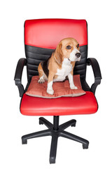 Adorable beagle sit still on red cha