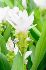 White curcuma flower.