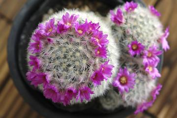 サボテンの花冠