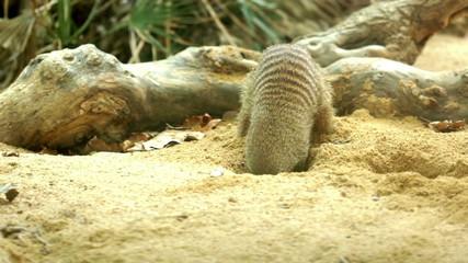 Banded mongoose (Mungos mungo) digging  sand