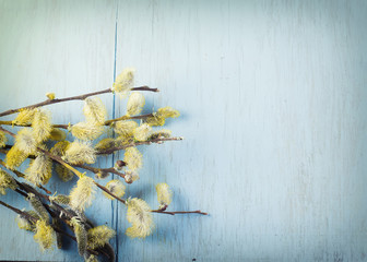 Willow flowers on blue wooden background.