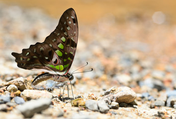 tailed jay butterfly close up