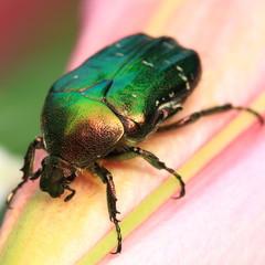 Green beetle on flower.