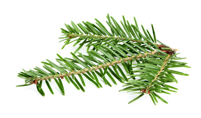 Fresh branch of a fir.