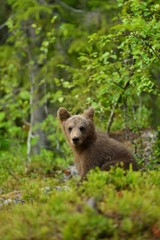 Bear cub in the forest