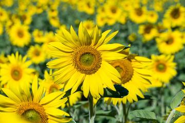 Sunflowers field in Ukraine