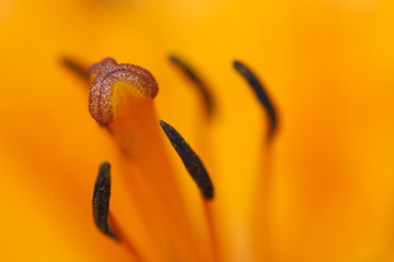 bloom of lily
