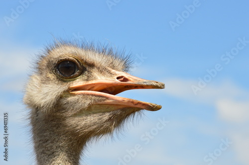 Fotobehang Struisvogel struś afrykański