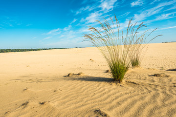 Purple Moor Grass in a sandy area