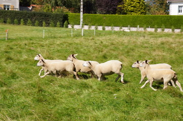 Troupeau de moutons en train de courir
