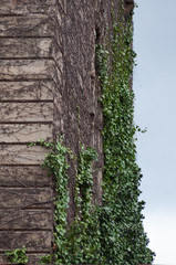 climbing plants on towers's wall