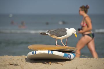 seagull on surf board on sandy beach