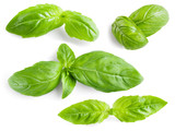 Basil leaves isolated. Collection