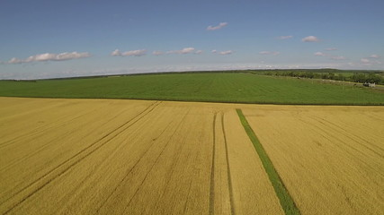 Bright yellow wheat field and  sky with clouds.  Aerial