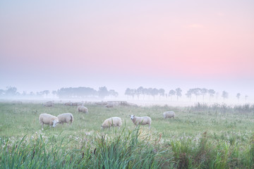 sheep on pasture at sunrise