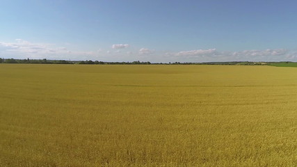Yellow field of wheat, as sea.  Aerial   landscape