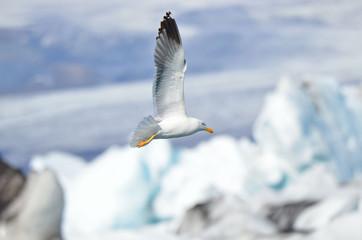 Чайка в полете на фоне ледника в Исландии