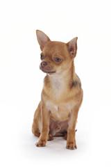 portrait chihuahua mâle brun