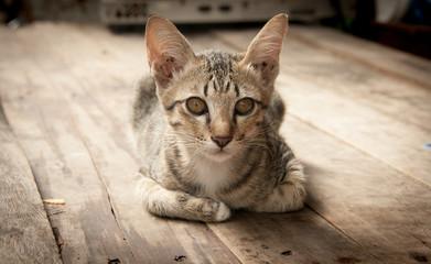 portrait stray cat watching cameraon wood floor
