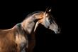 Golden bay Akhal-teke horse on the dark background