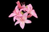 Fotoroleta Розовые лилии на черном фоне