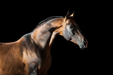 Golden bay Akhal-teke horse on the dark background