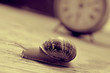 Leinwanddruck Bild - land snail and clock, in sepia tone