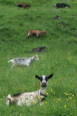 Chèvre allongée dans un champ