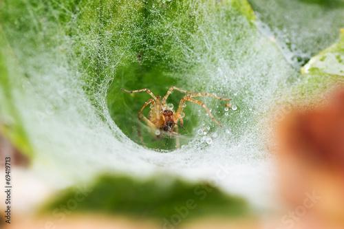 Leinwanddruck Bild grass spider Agelenidae on funnel-web eating a mosquito