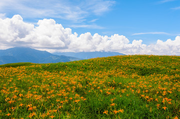 Daylily flowers on a hill in Taiwan