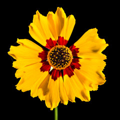 Isolated Plains Coreopsis