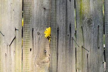 Old wooden fence with yellow flower.old wooden fence with yellow