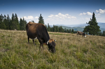 Cow on a subalpine meadow